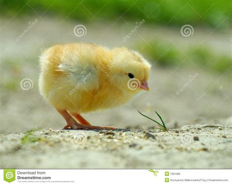 imagenes libres pollo 404 not found