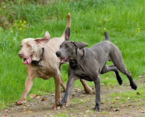 weimaraner colors weimaraner coat colors yahoo answers