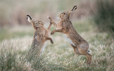 wallpaper  wild rabbits play games grass  hd