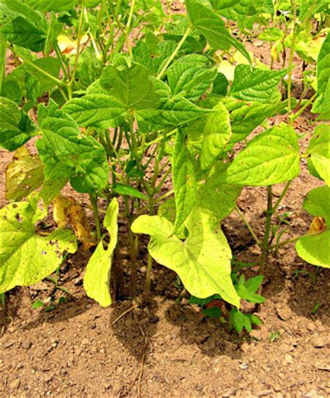 Pupuk Kalsium Nitrat pupuk kalsium amonium nitrat cantik sarana agri