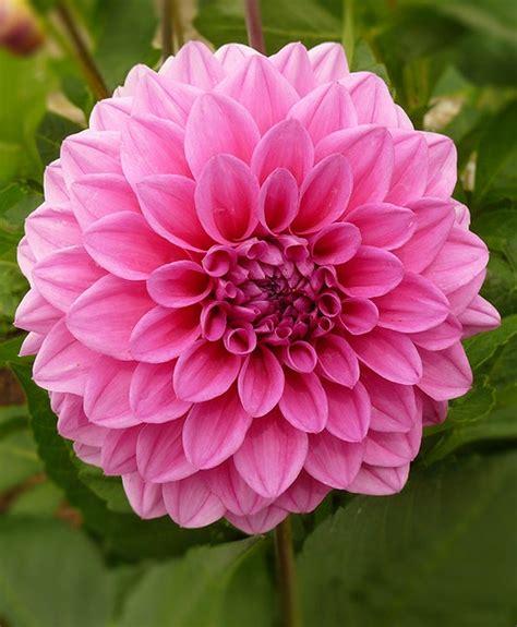 november flower best 25 november birth flowers ideas on pinterest