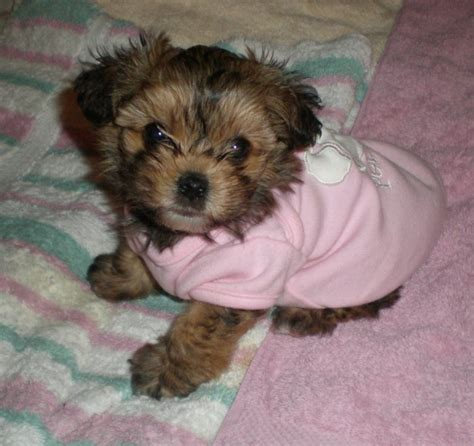 yorkie mix with poodle puppies yorkiepoo terrier poodle mix info temperament diet puppies