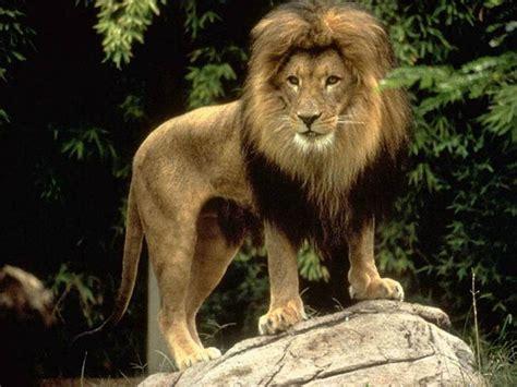 imagenes de leones rugientes coleccion imagenes de leones taringa