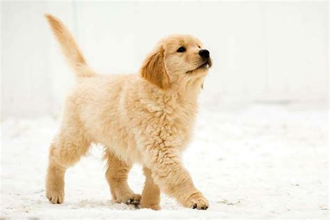 list of golden retriever breeders golden retriever breed information