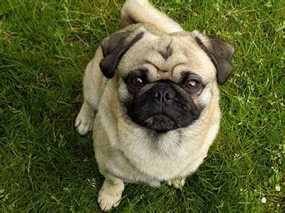 what is the average of a pug how much do pugs cost the highs and lows of budgeting for pugs