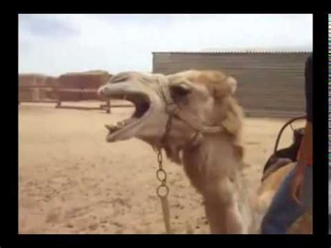 geico camel commercial hump day geico hump day new camel commercial with remix song