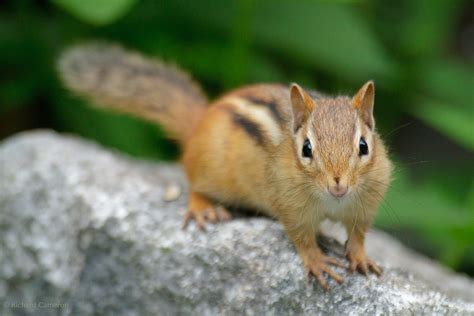 A Chipmunk - chipmunk the animals kingdom