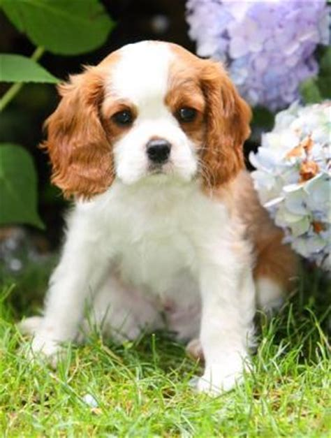 cavalier king charles spaniel puppies for adoption adorable and lovely cavalier king charles spaniel puppies for adoption