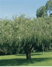 willow myrtle grow