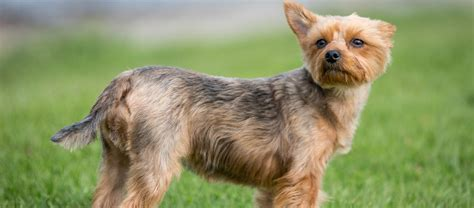 how big do yorkies get grown how big does a terrier get photo