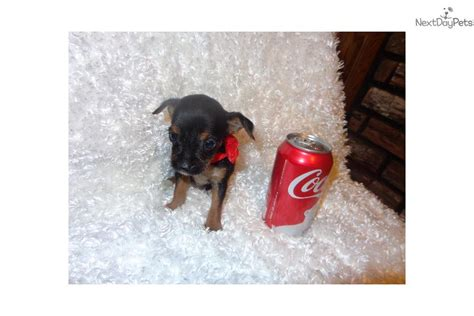 yorkies for sale in sioux falls sd chorkie breed profile chorkie pictures chorkie puppies for sale breeds picture