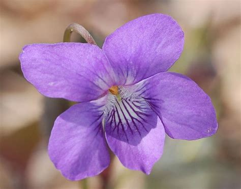 state flower of illinois illinois state flower the violet the o jays blog and