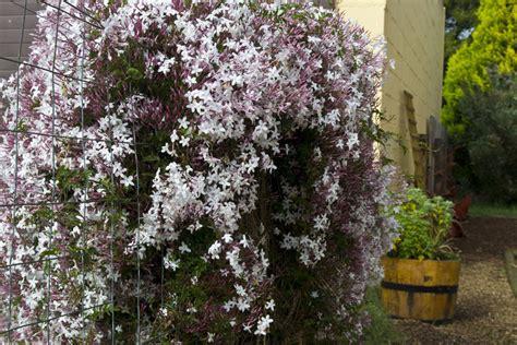 gelsomino officinale in vaso jasminum polyanthum by the gardening