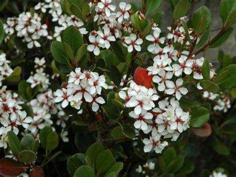 Flowering Evergreen Shrubs Full Sun - bluebell nursery bluebell nursery trees amp shrubs rhaphiolepis rhaphiolepis umbellata