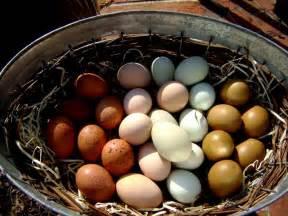 backyard chicken eggs orpington olive welsummer buff laced polish blue