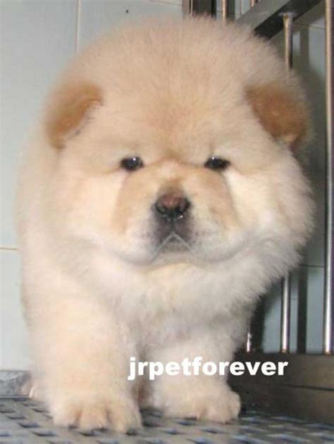 chow chow puppy price chow chow puppies for sale breeds picture