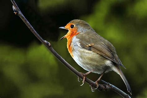 robin photo gallery