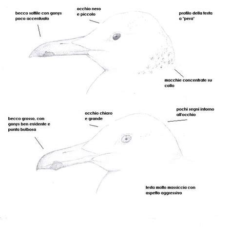 uccello simile al gabbiano discutiamo di gabbiani forum natura mediterraneo