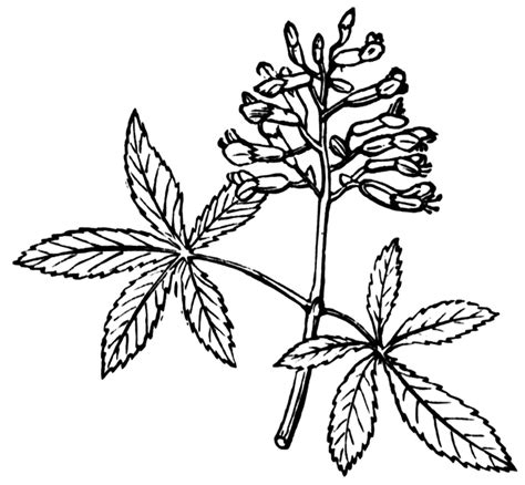 buckeye leaf coloring page free buckeye leaf cliparts download free clip art free