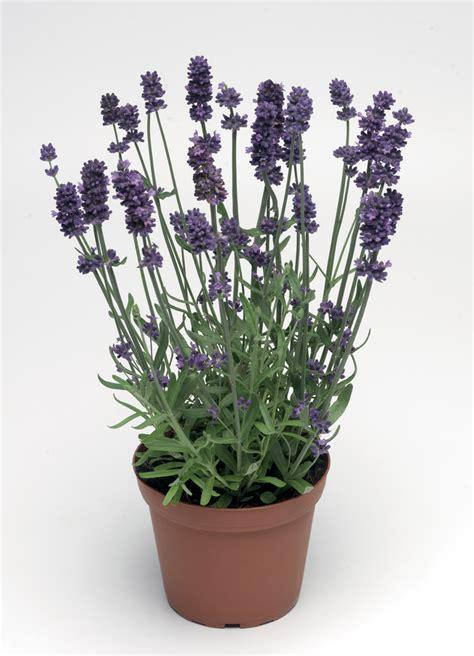 lavender aromatico blue common name english lavender