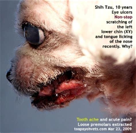 shih tzu itching non stop 031208asingapore toa payoh veterinary vets cat rabbits hamster veterinarian