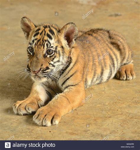animal bengal tiger zoo animal tiger cub bengal tiger stock photos zoo