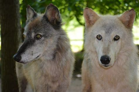 Sniff Grey Platform by 24 Best Wolf Pack Images On Wolf Ark And Wolfdog