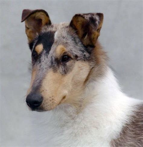 smooth collie puppies 25 best ideas about smooth collie on collie collie and collie
