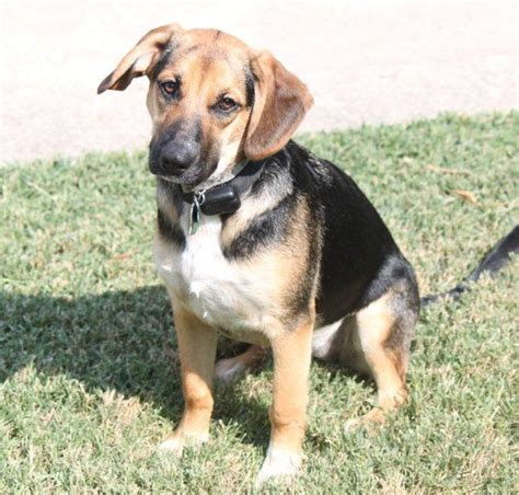 beagle german shepherd mix german shepherd and beagle mix puppies www imgkid the image kid has it