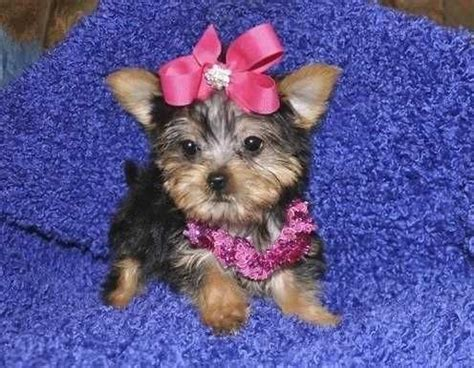yorkies for sale in mcallen 17 best images about teacup puppies on teacup maltese puppies chihuahua