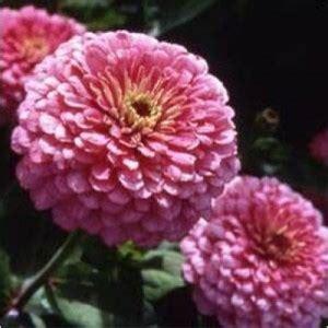 Min 25 Biji Benih Bunga Zinnia Cherry bibit bunga zinnia luminosa pink
