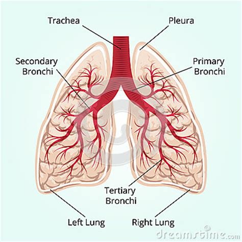 Beschriftung Lunge by Structure Of The Lungs Stock Vector Image 53096410