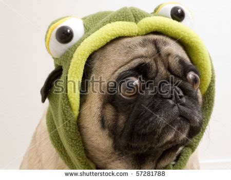 pug frog costume dogs in costume stock photos images pictures