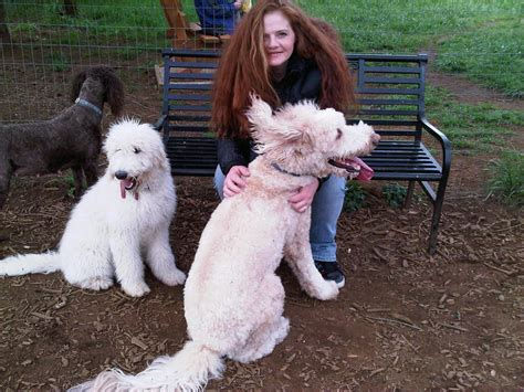 mini goldendoodle height standard labradoodle size images