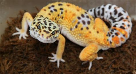 do leopard geckos need light leopard gecko diet and care information tail and fur