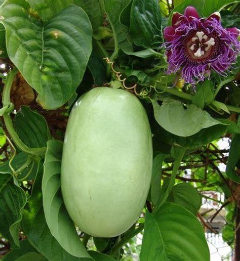 Harga Bibit Markisa tanaman markisa besar granadilla bibitbunga