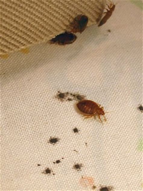 bed bug treatment cost how much does it cost to treat bed bugs bedding sets