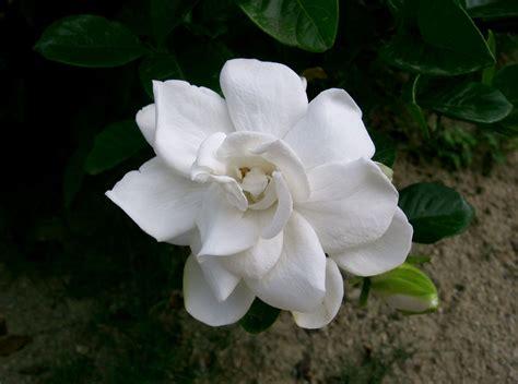 Gardenia by File Gardenia Jasminoides1 Jpg Wikimedia Commons