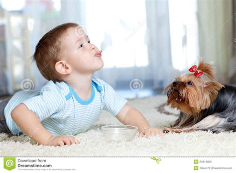 feeding yorkie puppies child feeding terrier at home stock image image 24314053