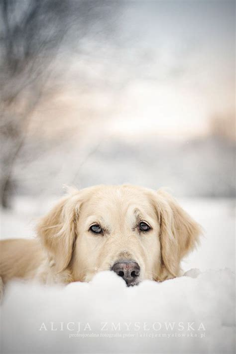 snow golden retrievers golden retriever dogs dogs dogs
