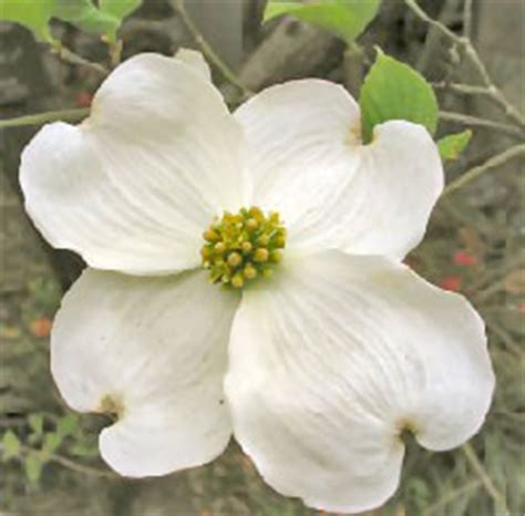 state flower of virginia virginia state flower facts about american dogwood