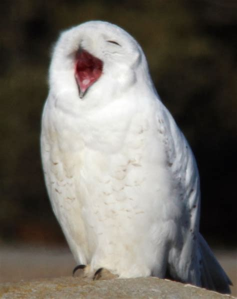 amazoncom snowy owl amazing animals pictures and laughter with the snowy owl bubo scandiacus 40 pics