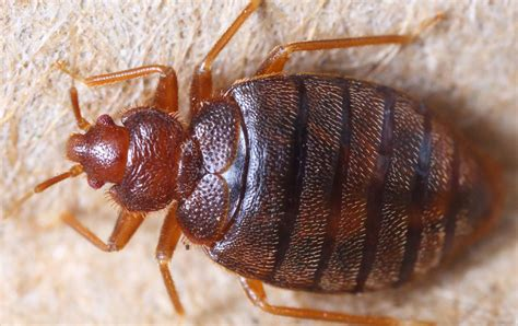 Dealing With Bed Bugs by How To Deal With Bed Bugs While Backpacking Rucksack