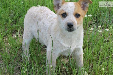 blue heeler puppy names heeler puppies aka blue names acd cattle dogother names acd cattle breeds