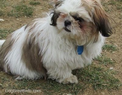 1 month shih tzu puppy shih tzu breed pictures 1