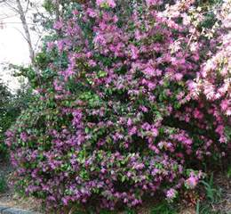 flowering evergreen shrubs for shade backyard nature flowering shrubs