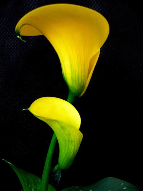 yellow calla lily by john hsey pettigrew digital photographer