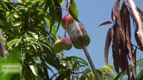 fruit tree picker how to make a mango fruit picker with materials around