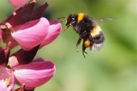 Search For On Bumble Bumble Bee Protected Endangered Species Act Time