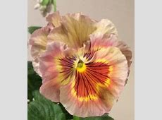 pansy 'Imperial Antique Shades'   My Garden   Pansies ... Johnny Jump Up Flower Tattoo